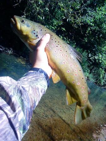grosses truites dans les ruisseau2 337x450 Des grosses truites dans un ruisseau.