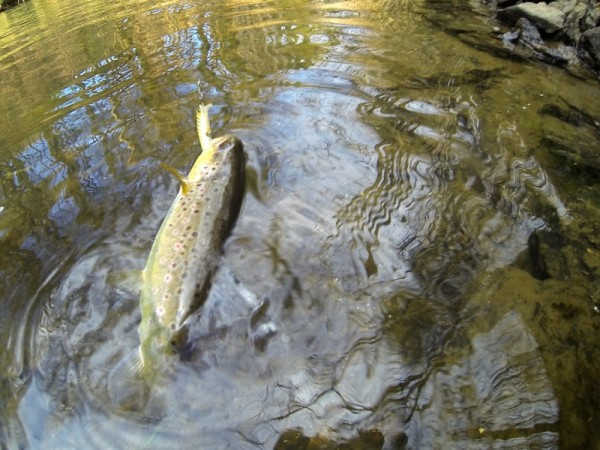 Les truites portion raffolent de ce poisson nageur.