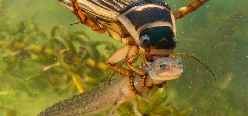 Les insectes aquatiques de Lorraine...