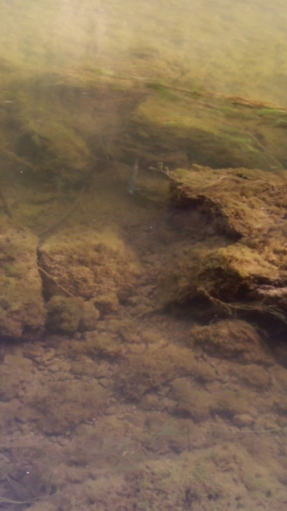 Quand le Doubs coule peu, le fond se colmate vite et les poissons souffrent