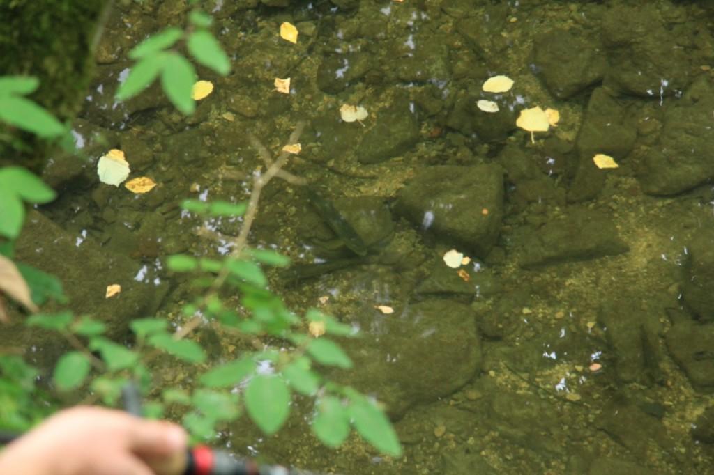 Une belle truite de l'Aube postée dans sa flaque