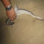 Requin marteau en Australie