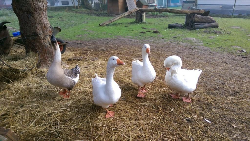 Les habitants de la petite ferme à Mullerthal