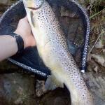 Longue truite (début de saison)