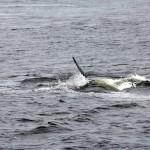 Baleine Canada