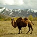 chameau en Mongolie