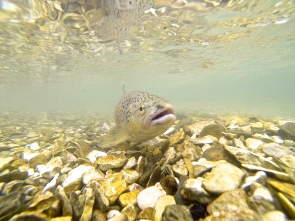 Photo de truite sous l'eau