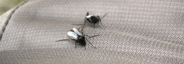 2 belles mouches bibios