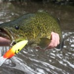 Murray cod MS